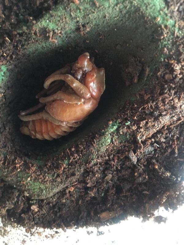パチェコ♂蛹