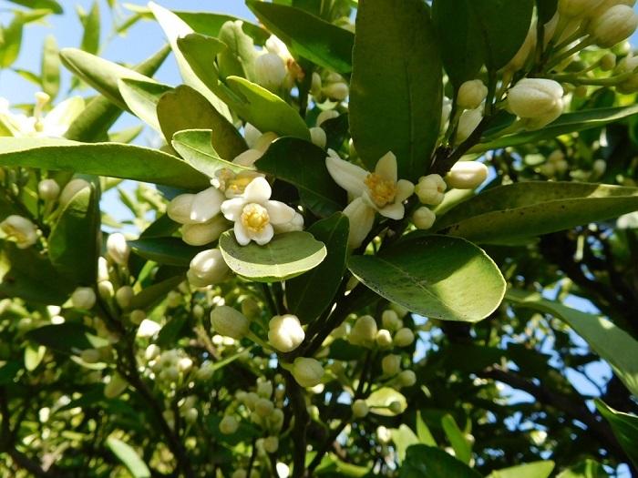 いよかんの花咲く3004