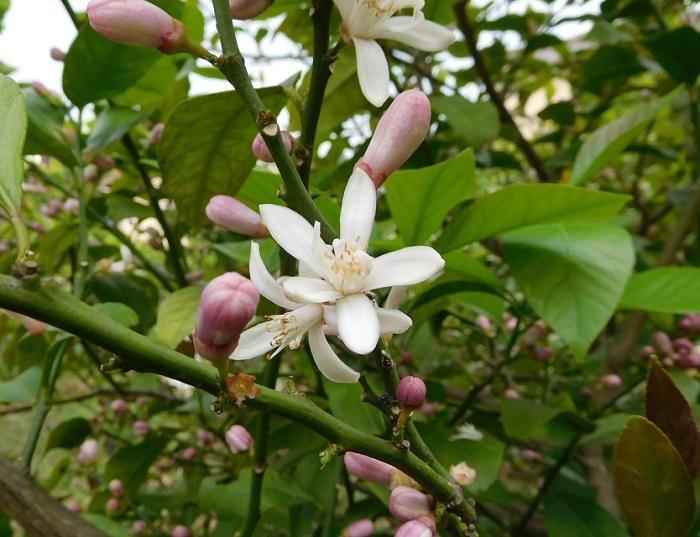 平成30年のレモンの花