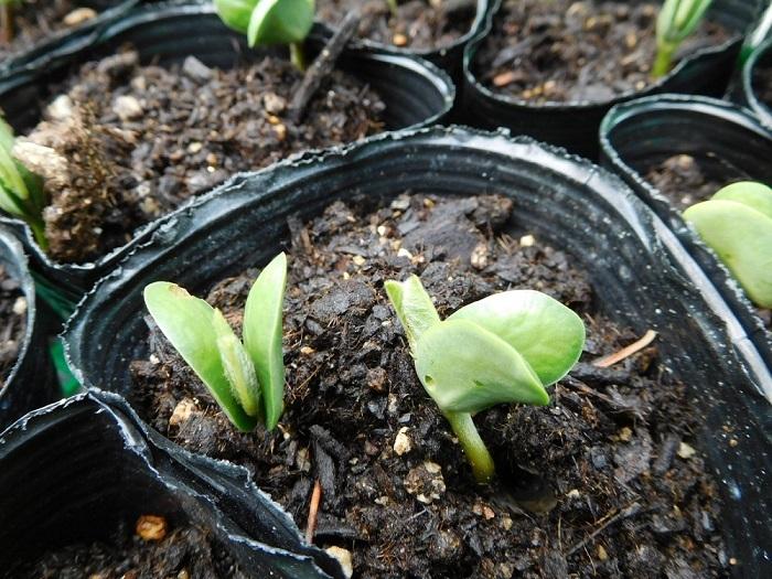 枝豆芽が出る3005 (2)