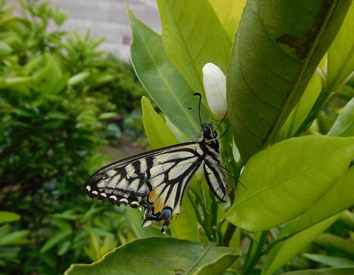 アゲハ蝶3005