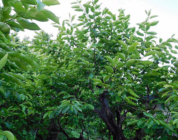 富有柿3005 (3)