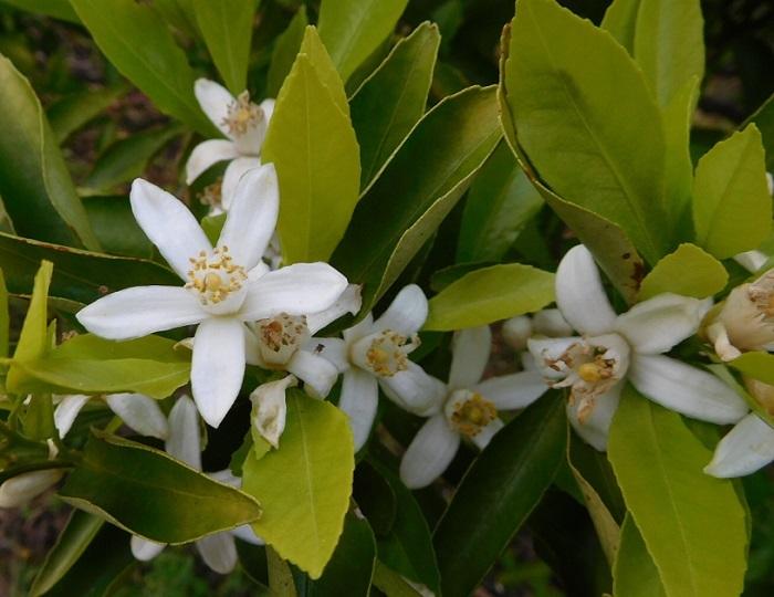 ミカンの花盛り3005