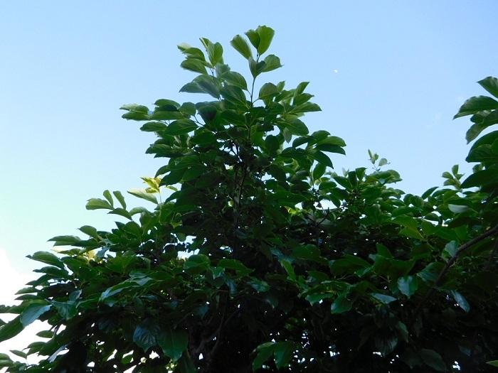 ミカン畑の果樹3005 (2)