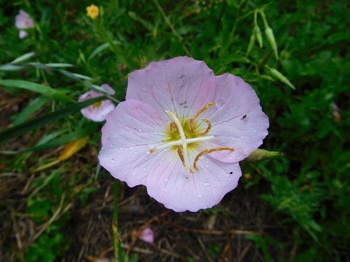 ミカン畑の花3006 (2)
