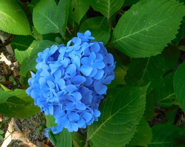 青い紫陽花3006
