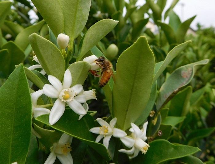金柑蜜蜂3006