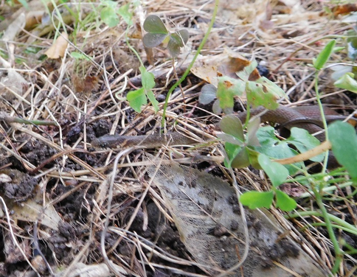 小雨の草刈にヘビ遭遇3006 (3)