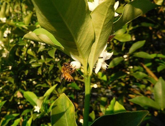 金柑と蜜蜂3007