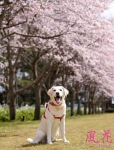 2016-0408-桜と風花♡