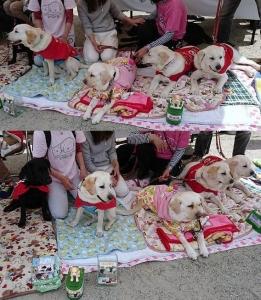 2018-0414-花祭り-盲導犬パピー達