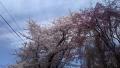 岩手の桜もイイ