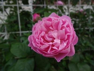 rose16