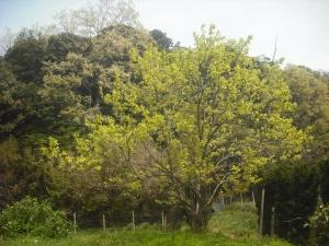 180423今日の柿木