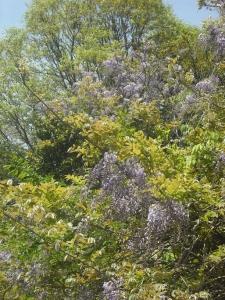 180426フジの花2