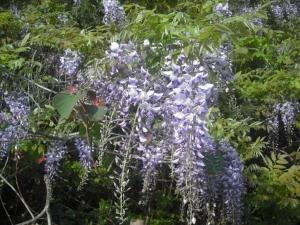 180427ヤマフジの花