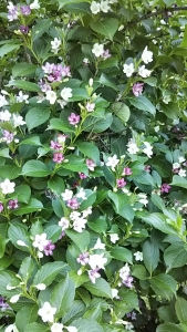 180521うつぎの花