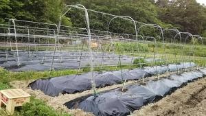 180529第1圃場ロッソ88苗植える