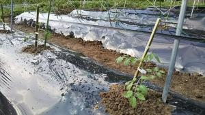 180530第2圃場ロッソ植える1