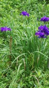 180623濃い紫いろの菖蒲咲く