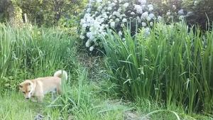 180625下で遊ぶサブ紫陽花と