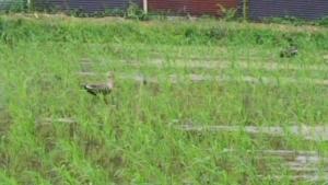 180626一番鴨