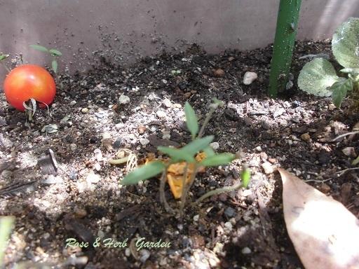 トマト20180707