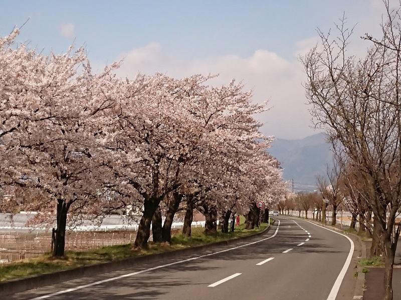 2018桜_002