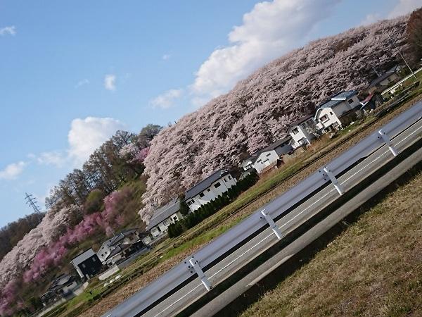 2018桜_003
