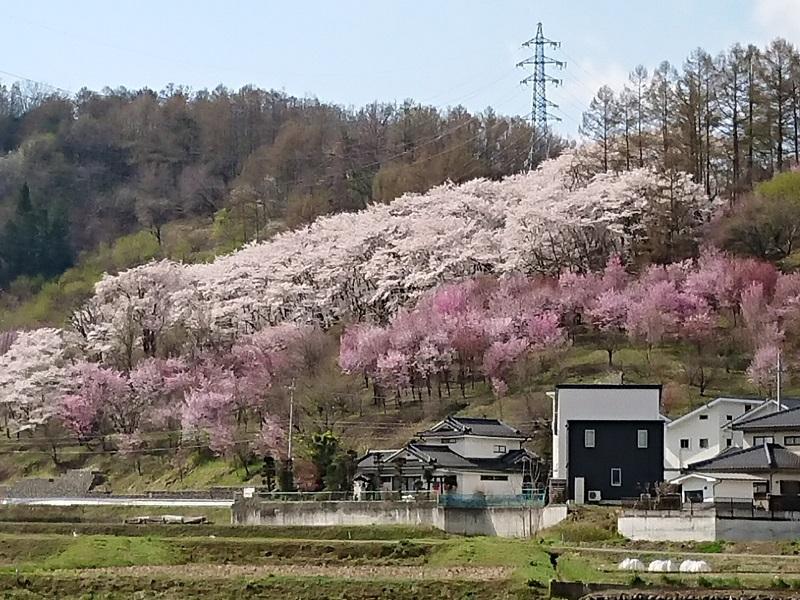 2018桜_005