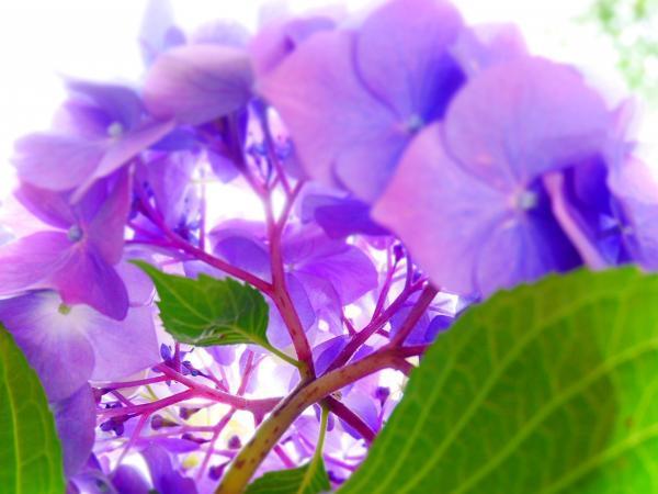 下から紫陽花2