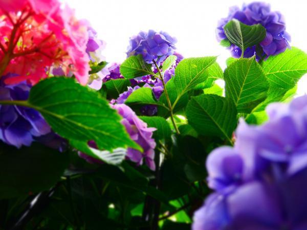 下から紫陽花3