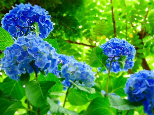 下から紫陽花4
