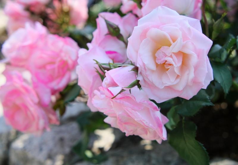 Rosa'Sakura-Gasumi'