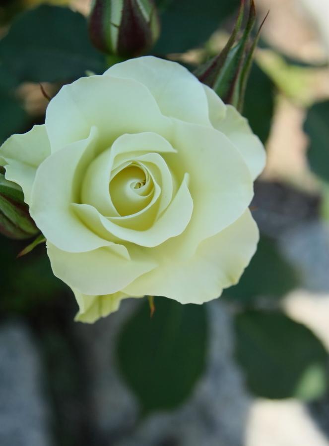 Rosa'Ryokko'
