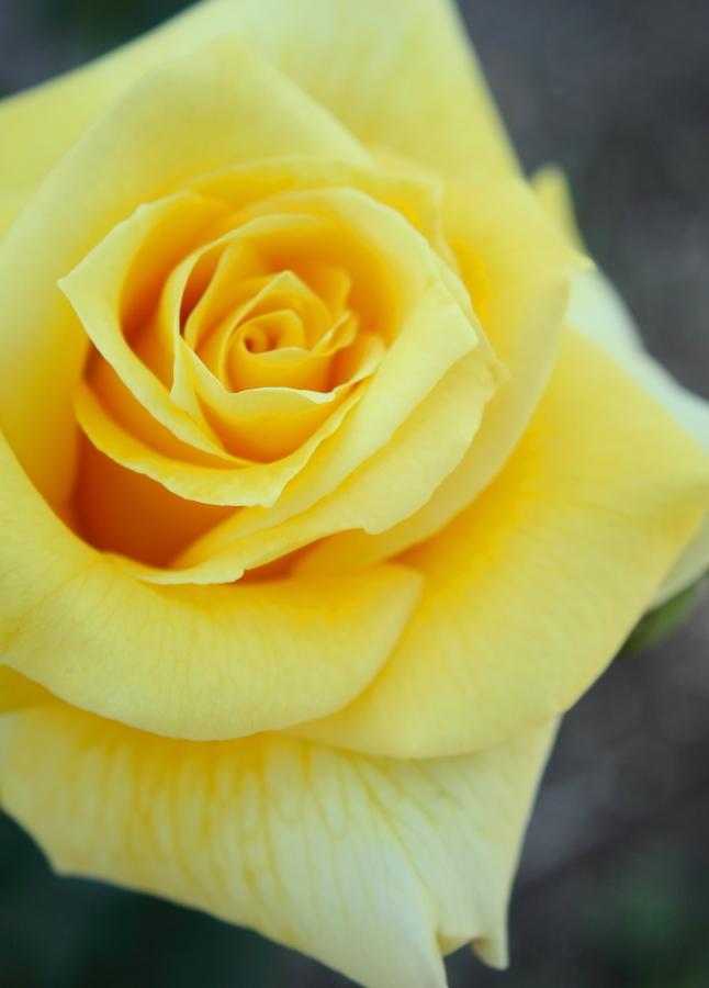 Rosa Emblem
