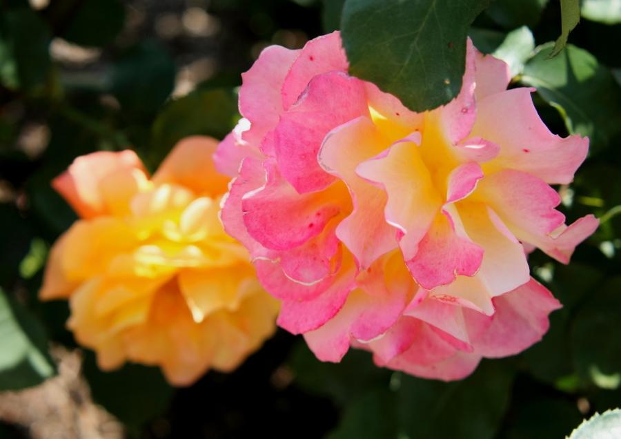 Rosa Souvenir dAnne Frank