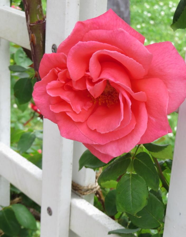 Rosa Emanuel