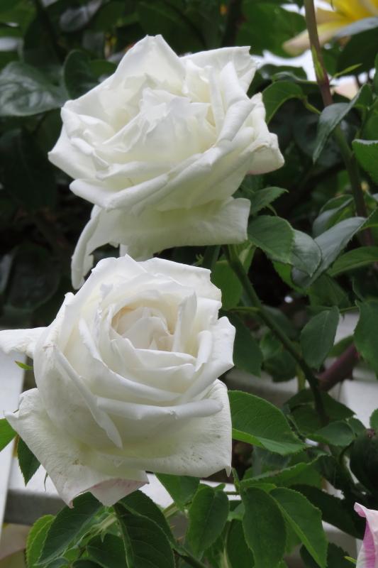 Rosa Frau Karl Druschki
