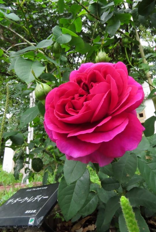 Rosa The Dark Lady