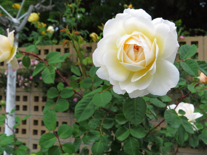 Rosa Crocus Rose