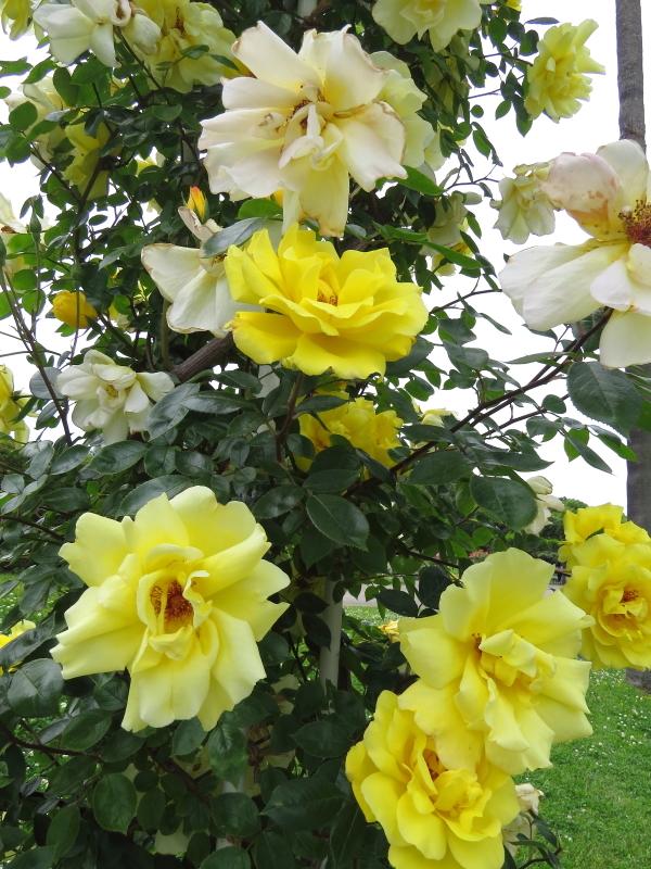 Rosa Golden Showers