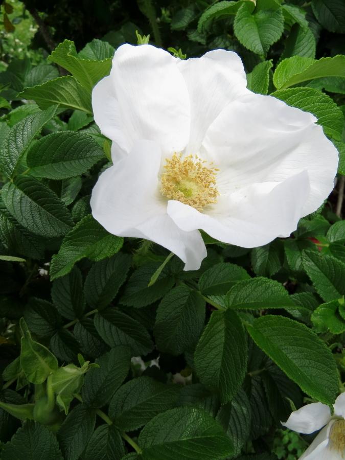 Rosa rugosa f. alba