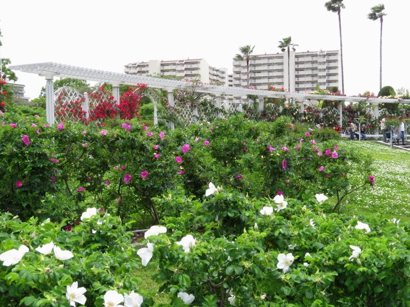 長居植物園バラ園|春バラ|開花状況 (2018/5/3)