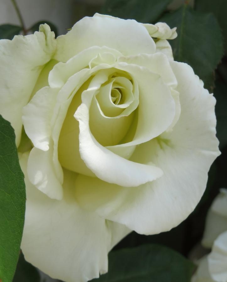 Rosa Climbing White Masterpiece