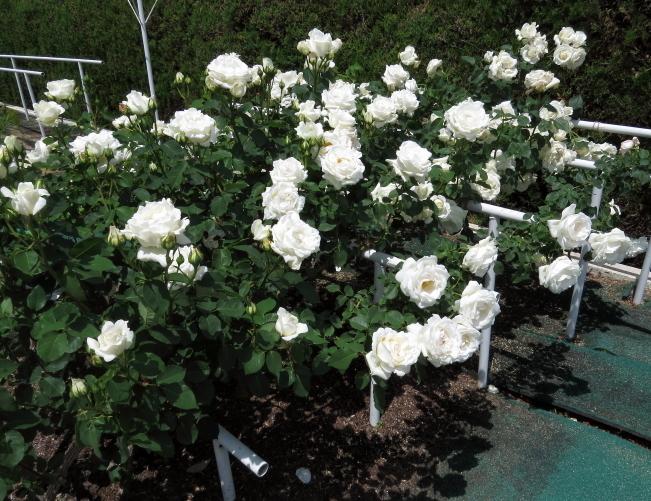 Rosa Climbing White Christmas