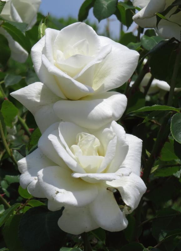 Rosa Virgo