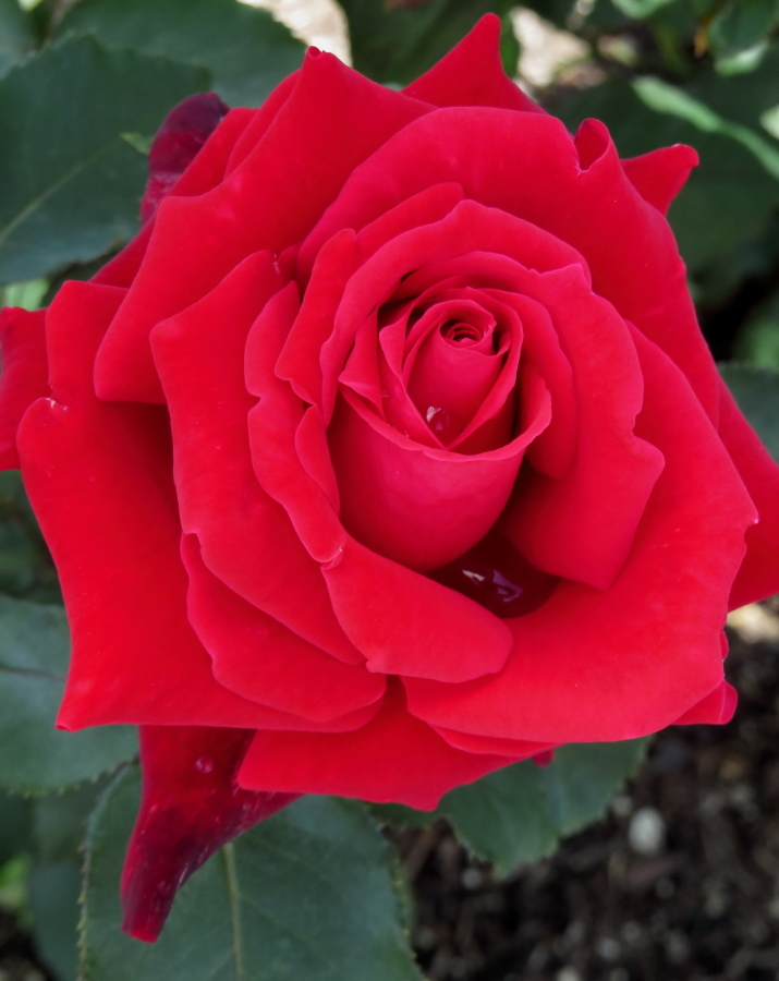 Rosa'Rose Osaka'