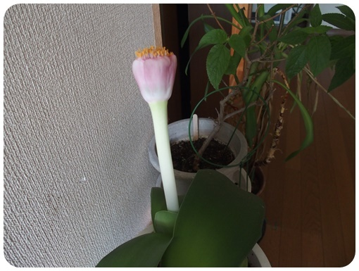 マユハケオモトー2