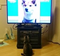 モフモフの登場するテレビをみるネコ
